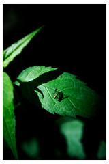Learning to Fly - Chanticleer - Wayne PA_Web 1-E_Scaled (johann.kisaame) Tags: botanicalgardens chanticleergardens closeup fly gardens green leaves macro pennsylvania philadelphiasuburbs plants shadows hidden insects leaf macrophotography