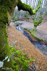 Otzarreta (lautada) Tags: otzarreta hayedo arboles bosque musgo verde naturaleza bizkaia vizcaya euskadi euskalherria paisvasco montaña haya