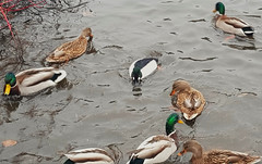 Male goldeneye (center) and mallards
