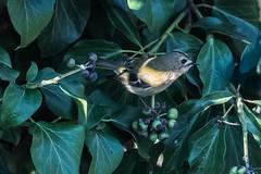 Goldcrest in ivy (pstani) Tags: england essex europe greatbritain regulusregulus walton waltononthenaze woodberryway bird fauna flora goldcrest ivy plant