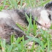 Opossum young dead  20191230