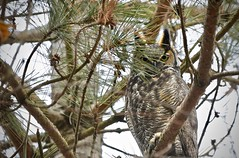Watched From Above (hd.niel) Tags: gho owls raptors forest kingstonandtheislands tufts hooting predator habitat nature photos wildlife photography nikon720080400