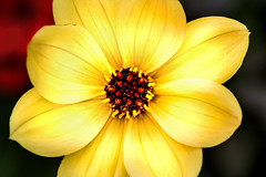 Wonderful Dahlia 3-0 F LR 10-12-19 J198 (sunspotimages) Tags: flower flowers dahlia dahlias nature yellowflower yellowflowers yellowdahlia yellowdahlias yellow