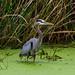 Great Blue Heron in Creekfield Lake