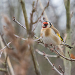 Goldfinch at Rumney Great Wharf, Cardiff