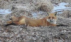 The Art of Relaxation (annette.allor) Tags: vulpes redfox relaxation fox layingdown pose resting stretch malefox male frost ice outdoor wild