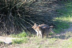 . (CarloAlessioCozzolino) Tags: gatti cats animali animals sardegna sardinia poetto quartusantelena