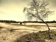All alone am I.... (h.dirix) Tags: veluwefebruari2017 tree birch sand plain netherlands veluwe otterloo drift solitair