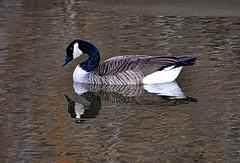 Goose - Canadian Style (KWPashuk (Thanks for >3M views)) Tags: nikon d7200 tamron tamron18400mm l luminar luminar4 kwpashuk kevinpashuk canadagoose goose urbanwildlife outdoors bird floating reflection simple bronte creek ontario canada