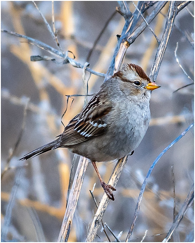 Immature White-crowned Sparrow by  Karl Knapp - AW - Class A Print - Nov 2019