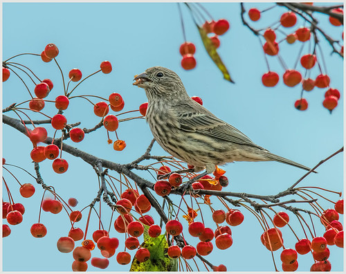 House Finch and Crabapples by Marcia Nye- HM Class A Print - Nov 2019