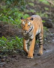 Tiger (Panthera Tigris) (Aravind Venkatraman) Tags: aravindvenkatraman aravind avfotography avphotography av wildlife wildlifephotographer incredibleindia indian india canon tiger pantheratigris panthera tigris