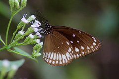 Wings (viveksanand) Tags: macro butterfly dots