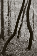 Cabal (baro-nite) Tags: enoriver centralnorthcarolina sourwood oxydendrum ericaceae trees pentax k1 lensbaby velvet iridientdeveloper