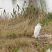 Great Blue Heron and Great Egret  20191230