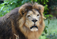 African lion - Zoo Amneville (Mandenno photography) Tags: animal animals dierenpark dierentuin dieren african amneville zoo zooamneville france frankrijk bigcat big cat cats ngc nature natgeo natgeographic bbcearth bbc discovery