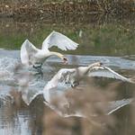 Swans taking flight at Rumney Great Wharf, Cardiff