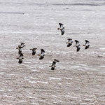 Flock of Lapwings at Rumney Great Wharf, Cardiff