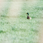 Duck in a field at Hendre Lake, St Mellons, Cardiff