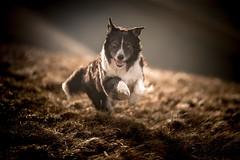 Prancer impression (JJFET) Tags: border collie dog sheepdog herding