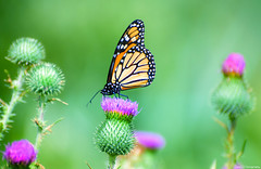 The Monarch (annedphotography1) Tags: butterfly monarch insect summer thistles plants green colorful beauty nature