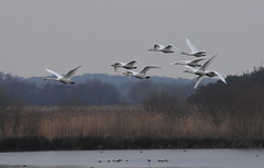 Whooper swans in flight (Lancs & Lakes Outback Adventure Wildlife Safaris) Tags: nikon d7200 sigma sigma150600 150600mm contemporary swan wildswans whooperswans martinmere wwt lancashire marsh wetland flight white flock herd skein