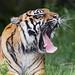 Last picture of the tigress