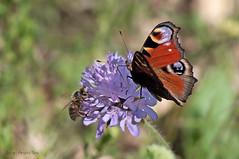 Mariposa Pavo Real (ajmtster) Tags: macrofotografía macro insecto insectos invertebrados mariposas mariposa lepidopteros nymphalidae ninfalidos aglaisio aglais io inachisio inachis pavoreal amt butterfly butterflies papillon farfalle