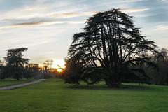 Ancient (Tanya - Hibernating for the winter!!) Tags: sunset magnificent huge cedaroflebanon tree landscape