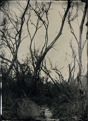 (Silver and Iron Tintype) Tags: senecaimprovedview 5x7 largeformat wetplatecollodion newguycollodion newguynegativecollodion epsonv700 coppersulfatedeveloper collodion tintype alumitype moderncollodion silverandlight agourahills