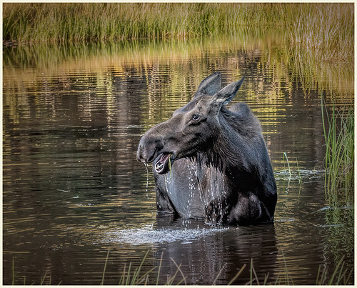 Moose at Sprague Lake by Marcia Nye - Class A Digital HM - Nov 2019