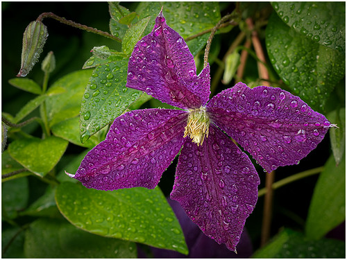 Clematis Refreshed by James Norton - Class B Digital HM - Nov 2019