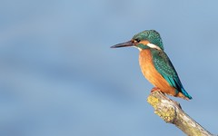 Kingfisher (Alex Perry Wildlife Photography) Tags: kingfisher alcedoatthis groveferry alexperry stourvalley wildlife nature bird kent alcedinidae
