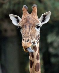 rothschild giraffe Burgerszoo  BB2A0851 (j.a.kok) Tags: animal burgerszoo mammal zoogdier dier africa afrika herbivore giraffe rothschildgiraffe