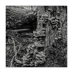 Mushrooms (K.Pihl) Tags: mushrooms hasselblad500cm monochrome hc110b nature distagon50mmf40 ilfordhp5400 blackwhite schwarzweiss bw film analog pellicolaanalogica