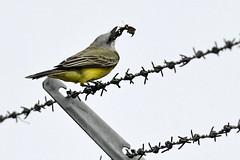 FL: Tropical Kingbird & Brunch (donna lynn) Tags: 2019 florida birds birding browardcounty miamidadecounty rarity