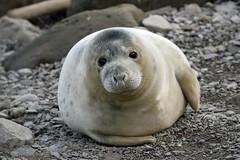 Seal pup at Ravenscar (Barry Potter (EdenMedia)) Tags: barrypotter edenmedia nikon d750 seal