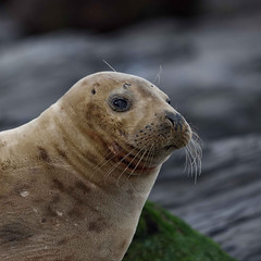 Seal portrait (Barry Potter (EdenMedia)) Tags: barrypotter edenmedia nikon d750 seal