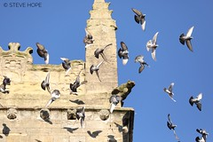 St. Mary's church, Barton upon Humber (SteveH1972) Tags: stmaryschurch stmarys church bartonuponhumber barton bird birds architecture old pigeon pigeons canon70200 70200 nonis canon5div 5dmarkiv 5div canon5dmarkiv 5d blue sky northlincolnshire lincolnshire uk britain england outside outdoor outdoors bluesky 2019