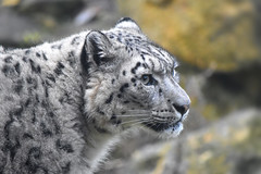 The mighty Snow Leopard! (Nina_Ali) Tags: snowleopard endangeredspecies twycrosszoo zoo animals nikond5500 bigcats tamworth england