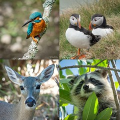 My highlights of 2019 (vickyoutenphoto) Tags: vickyouten kingfisher puffins keydeer raccoon wildlife nature nikon nikond7200 nikkor55300mm sigma150600mmc penningtonflash rspbbemptoncliffs floridakeys
