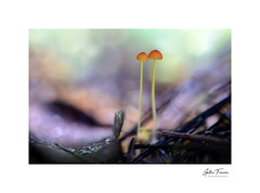 Will always love you (g.femenias) Tags: mushrooms fungi bokeh woods nature naturallight colors macro macrophotography bonany petra mallorca mycenaacicula tricholomataceae agaricomycetes agaricusminiatus