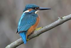 Alcedo Atthis (MoGoutz) Tags: madytos nea volvi lake bird kingfisher common atthis alcedo βόλβη λίμνη αλκυόνη d500 nikon