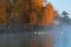 The Race (jactoll) Tags: stratfordonavon warwickshire river avon riveravon mist misty swan rsc light willow landscape sony a7iii 70200mmf4 jactoll