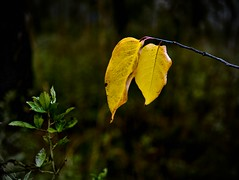 Yellow Leaves (surfcaster9) Tags: leaves closeup lowkey outside micro43 lumix25mmf17asph lumixg7 outdoors florida forest yellow