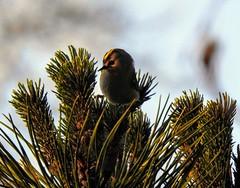 Roitelet huppé (chriscrst photo66) Tags: bird animal oiseau nature wildlife passereau photographie photography gironde nikon ornithologie ornithology aquitaine