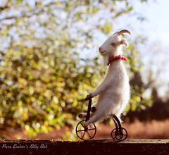 In search of sunshine 🐐🚲 (pure_embers) Tags: pure embers laura uk pureembers photography needlefelt goat sculpture tricycle art lindsey thomas makes sun trike billy bob