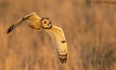 S.E.O (Golden Hour) (KJB Photography.) Tags: seo short eared owl bird prey flight nature wildlife fens