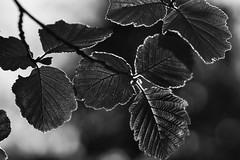 *** (pszcz9) Tags: przyroda nature natura naturaleza liść leaf zbliżenie closeup bw blackandwhite monochrome czarnobiałe bokeh beautifulearth sony a77