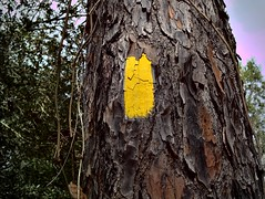 Yellow Trail Blaze (surfcaster9) Tags: pinetree yellow outside nature trail tree lumix25mmf17asph micro43 lumixg7 outdoors florida forest closeup